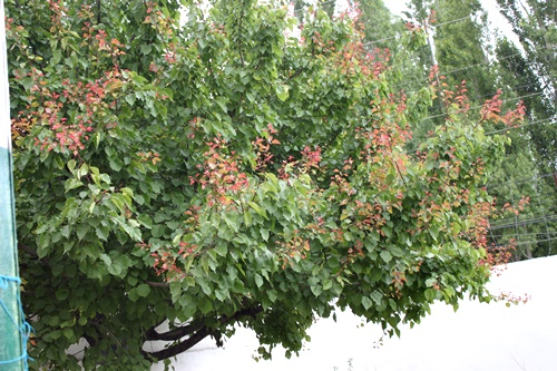 life in skardu apricot tree
