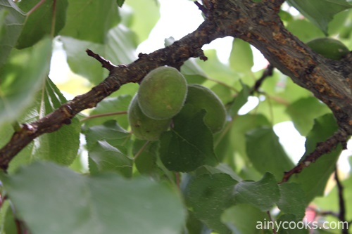 life in skardu apricots on tree