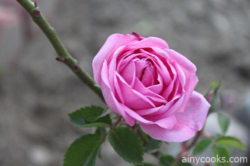 life in skardu rose